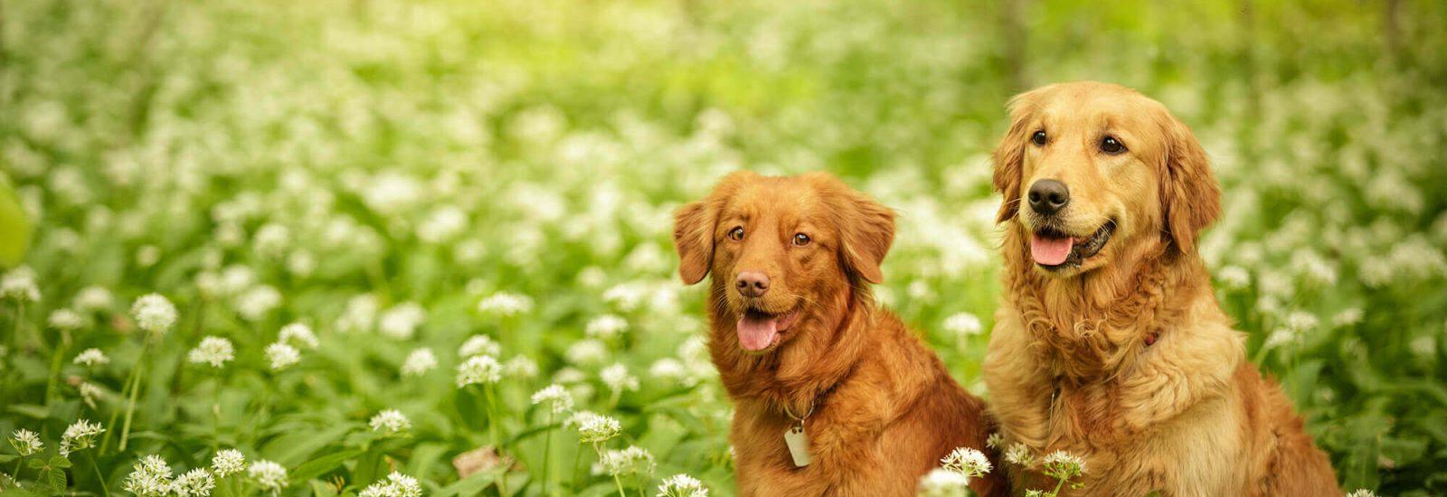 Image of Best Bristol dog walks for wild garlic