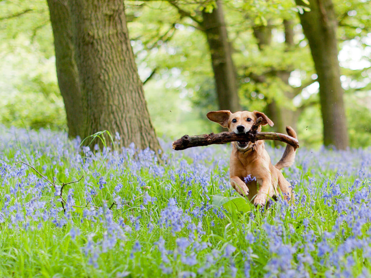 Bluebells_Dog_Main