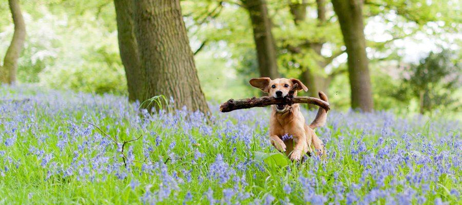 Image of Best Bristol dog walks for bluebells