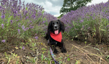 Image of https://bristol-barkers.co.uk/walks/somerset-lavender-farm/