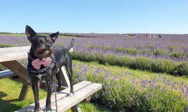 Image of https://bristol-barkers.co.uk/walks/cotswold-lavender/