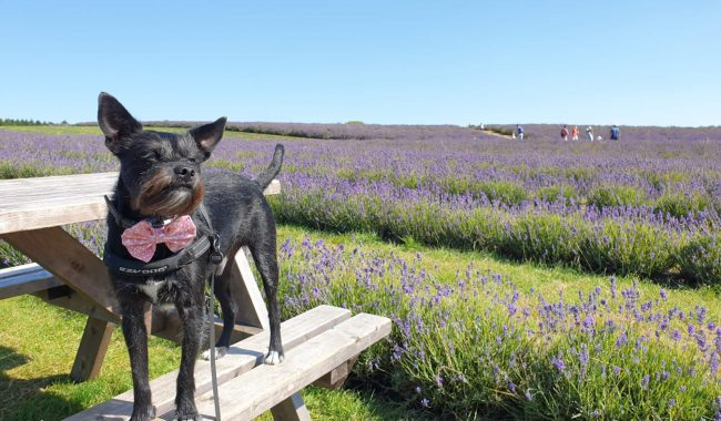 Image of Cotswold Lavender